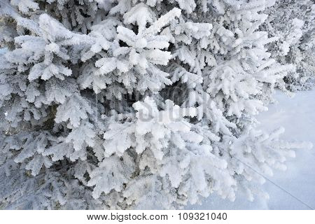 Shaggy Spruce Branches With Snow Decoration.