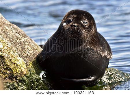 Ladoga Ringed Seal ( Pusa Hispida Ladogensis) Close Up. The Ladoga Seal In A Native Habitat