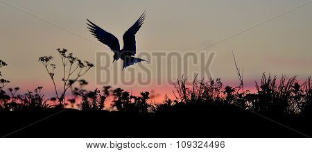 Silhouette Of Common Terns On Red Sunset Sunset Sky. The Common Tern (sterna Hirundo). In Flight On