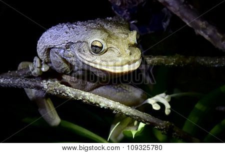 World's Biggest Cuban Tree Frog At Night .the Cuban Tree Frog ( Osteopilus Septentrionalis )