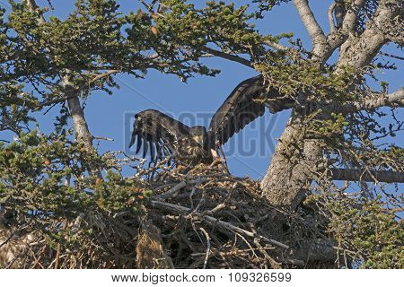 Fledgling Eagle Testing Its Wings