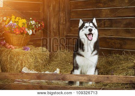 Dog-puppy Of Breed Siberian Husky