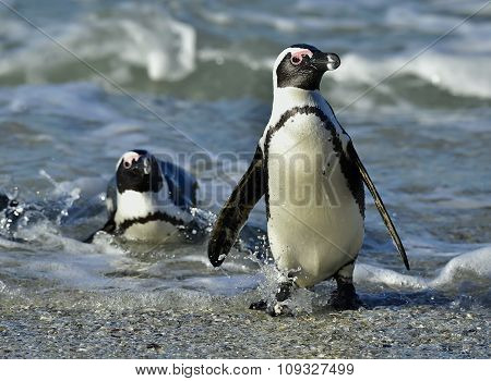 Portrait Of African Penguin (spheniscus Demersus)