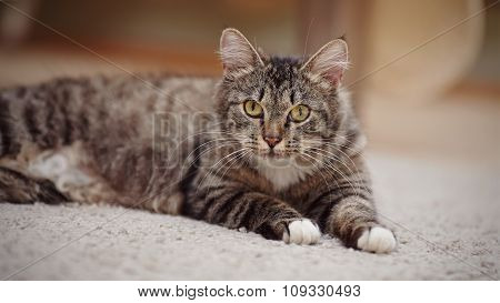 Portrait Of The Striped Cat With Yellow Eyes