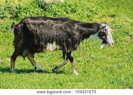 The Nanny Goat