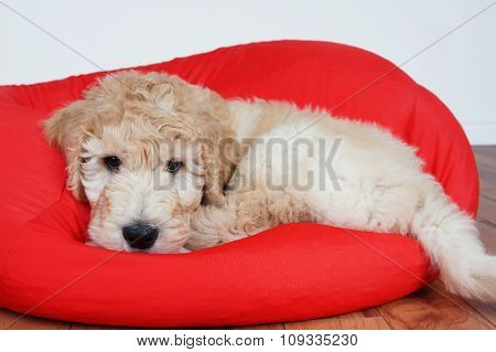 Puppy On Red Cushion