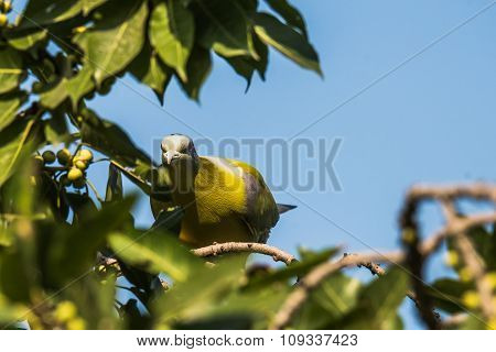 The yellow-footed green pigeon, also known as yellow-legged green pigeon, is a common species of green pigeon found in the Indian subcontinent