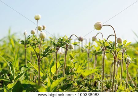 Group Of Wild White Anemones In Meadow With Blue Sky