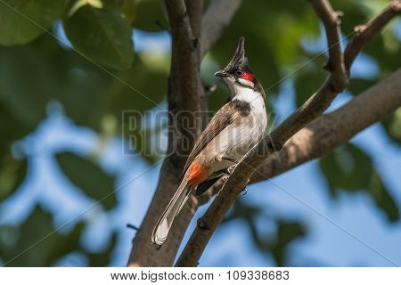 The red-whiskered bulbul is a passerine bird found in Asia. It is a member of the bulbul family