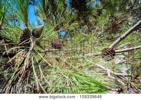 Cedar cones on a green branch