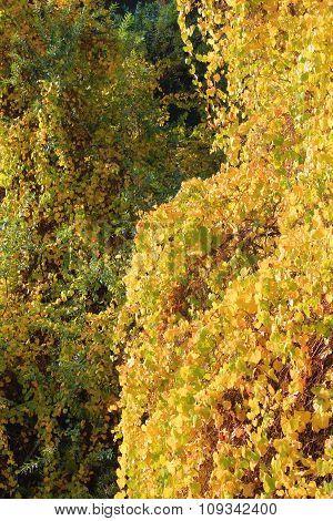 Wild Grapevines