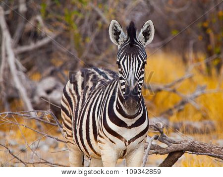 Young zebra front view