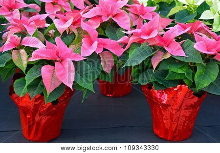 Pink Christmas Poinsettias