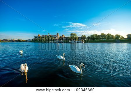Beautiful view on Vistula river with swans swimming in Krakow