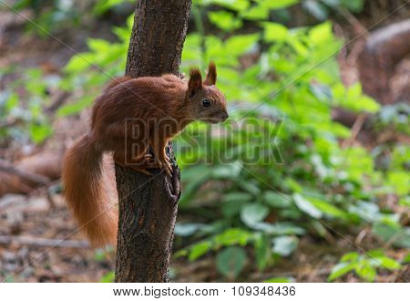 Red Squirrel Sitting On A Tree In Autumn Park