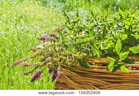 Bouquet Of A Blossoming Mint On Wicker Basket