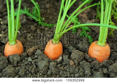 Closeup of young carrots in soil