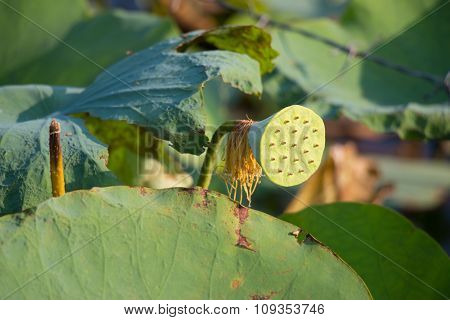 Lotus seeds in the lotus farm. Lotus is the seed plant that can eat.