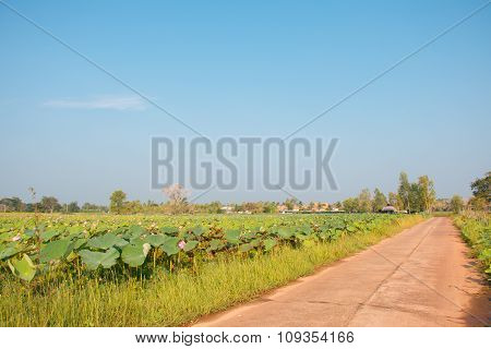 The Road is beside lotus field lake. Transprotation goods to the market.