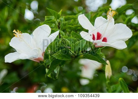 Selective Focus Of Twin Hibiscus Flower  In The Field