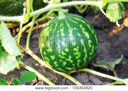 Watermelon growing in garden