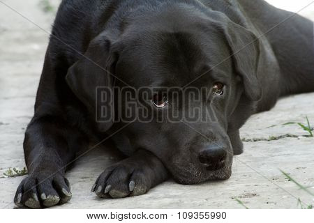 Lying Black Labrador-retriever Close Up