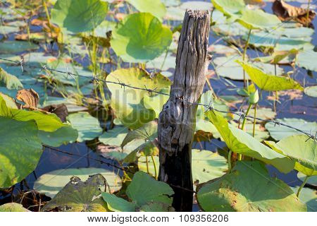 Lotus field and barbed wire in a log. Boundary of lotus field in pond or lake.