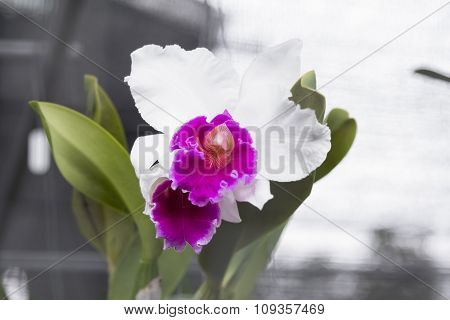 Selective Focus Of Orchid Flower