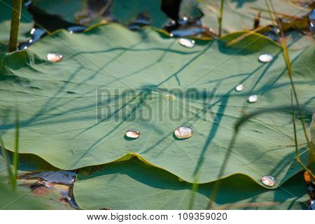 Water drops on lotus leaf , the sunhine effect light green, Water reflection.