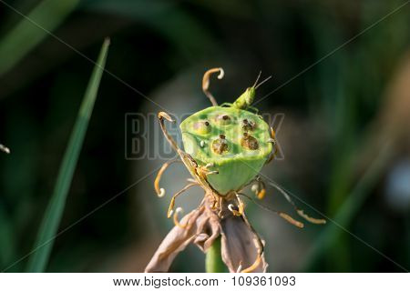 Grasshopper eat the seed of lotus. Locust, Insect is a garden pest. Bio-ecology.