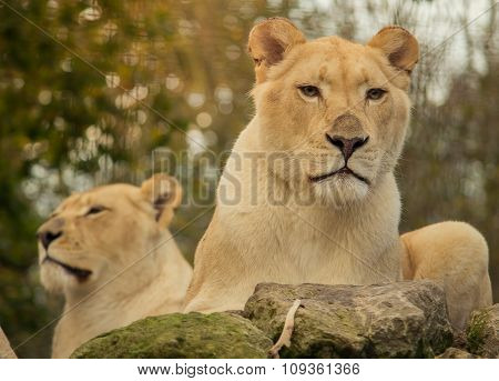 African female white lions