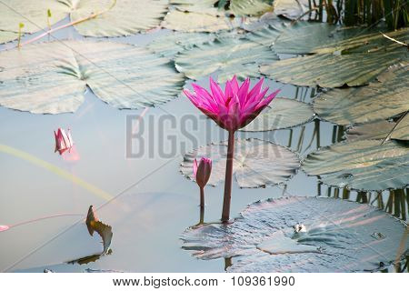 Pink Lotus, the water lily on the pond. Close up pink lily,  fresh lotus blossom, Nymphaeaceae