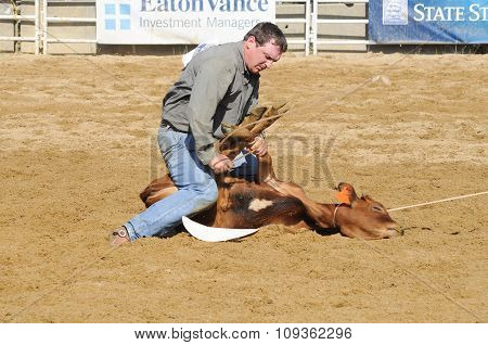 A Rodeo Cowboy Attempting To Tie Up Three Legs Of A Calf