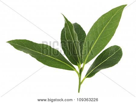 Fresh twig with bay leaves, isolated on white