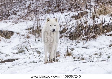 A lone Arctic Wolf in a winter scene