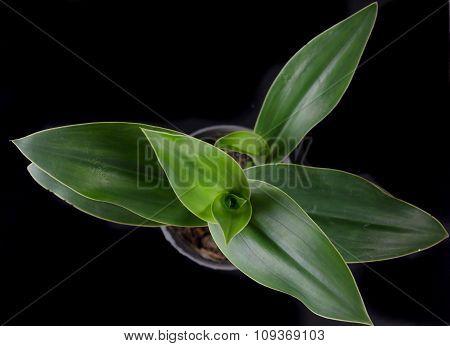 Habenaria Dentate From Rainforest Of Thailand