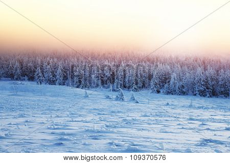 Beautiful landscape of sunset in winter forest, majestic view on a fir trees covered with snow, misty pink sky light over high mountains, wintertime beauty in nature of Czech Republic, Central Europe