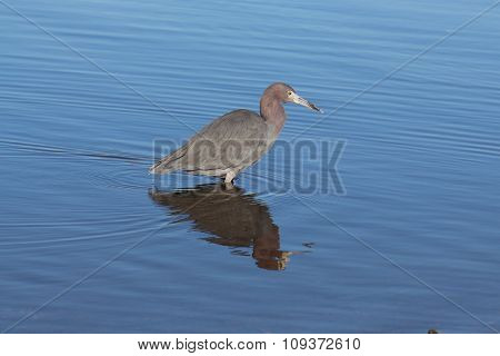 Little blue heron wading right