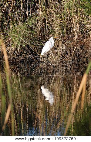 White heron reflection