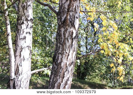Trunk And Branches Of A Birch.
