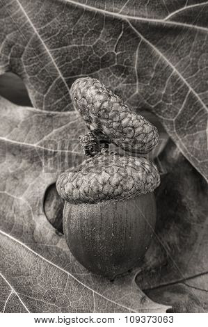 B&w Of Acorn On Leaves.