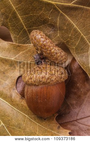 Acorn And Cap On Leaves.