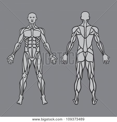 Anatomy Of Male Muscular System, Exercise And Muscle Guide. Human Muscular Vector Art, Front View, B