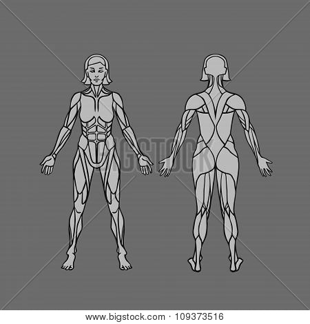 Anatomy Of Female Muscular System, Exercise And Muscle Guide. Women Muscle Vector Art, Front And Bac