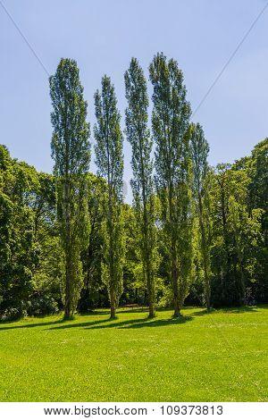 Munich English garden poplar trees