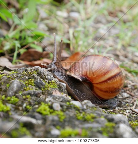 Snail crawling on ground in a garden