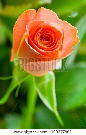 detail of orange rose flower