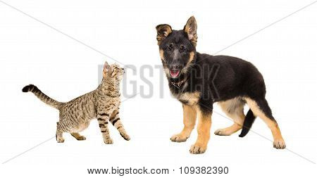 German Shepherd puppy and cat Scottish Straight together