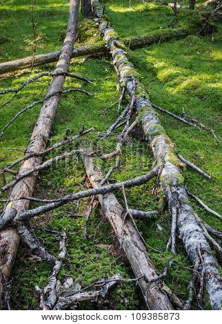 Damaged Wood Pests And Fallen Trees In The Forest