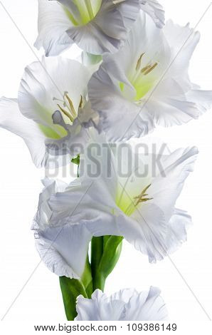 Blossoming White Gladiolus, It Is Isolated On White